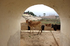 Cows in Archway Royalty Free Stock Images