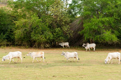 Cows in an Arid Field. A group of cows grazing in a dry arid field Stock Images