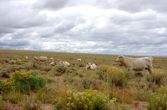 Cows in the Arid San Luis Valley. A beautiful image of the deeply contrasted blue Sangre de Cristo Mountains white storm clouds and the arid plains with white Royalty Free Stock Photos