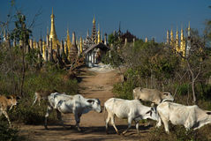 Cows around  the stupas of Inn Taing temple. Stock Photos
