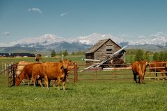 Cows as traditional farming livestock in southern Alberta, Canada. Staring cows in farming land stock photography