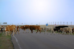 Cows on asphalt road in the morning at countryside royalty free stock photo