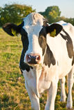 Cows At The Meadow Royalty Free Stock Photos