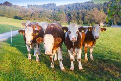 Cows in the Austrian Alps Royalty Free Stock Images