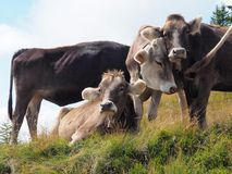 Cows in the Austrian mountains gazing relaxed stock photo