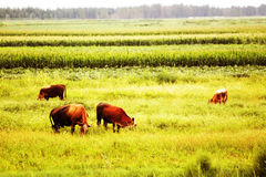 Cows in autumn Royalty Free Stock Image