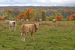 Cows and autumn forest Royalty Free Stock Images