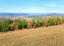 Cows on autumn hill Royalty Free Stock Images
