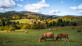 Cows on the autumn meadow Royalty Free Stock Photos