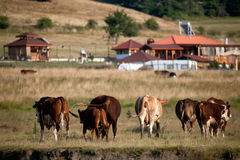 Cows in autumn medows Royalty Free Stock Photography