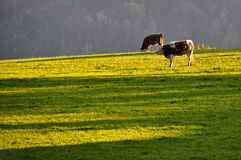 Cows on autumn pasture Royalty Free Stock Images