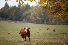 Cows on autumn pasture Royalty Free Stock Image