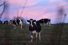 Cow& x27;s Stock Photos