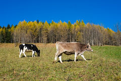 Cows in autumn Stock Photography