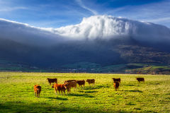 Cows in Ayala valley Royalty Free Stock Photo