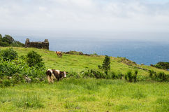 Cows on Azores Stock Photos