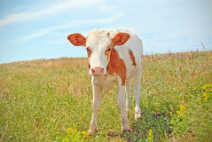 Cows baby grazing on a meadow Royalty Free Stock Photography