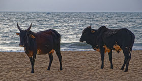 Cows on Baga Beach Royalty Free Stock Images