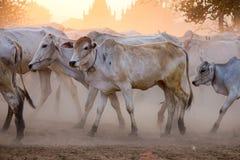 Cows in Bagan, Myanmar Royalty Free Stock Image