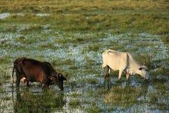 Cows in bahia Stock Photos