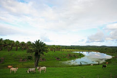 Cows in bahia. Cows rice plantation field in bahia state brazil Stock Photography