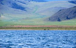 Cows on Baikal. Cows on the shore of Baikal lake, hills on the background Stock Photo