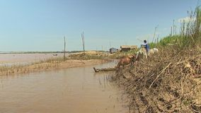 Cows, bamboo, mekong, cambodia, southeast asia stock footage