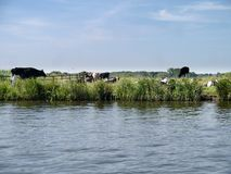 Cows on a bank by a river Royalty Free Stock Image