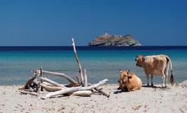 Cows in Barcaggio beach Stock Image