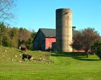Cows and barn. Rural scene Stock Photos