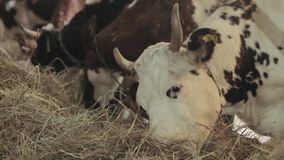 The cows in the barn eat hay.  stock video