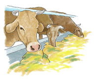 Cows barn. Cows in the barn eating hay Stock Image