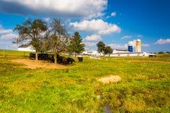 Cows and barn on a farm in rural York County, Pennsylvania. Stock Photo