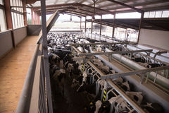 Cows in the barn. Herd of cows in the barn Stock Image