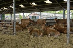 Cows in barn Stock Image