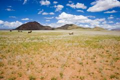 Cows on the barren pasture in Namibia stock photography