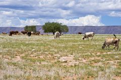 Cows on the barren pasture in Namibia Stock Photos
