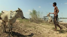 Cows , bathe , mekong,  cambodia, southeast asia stock video