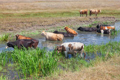 Cows bathing in river Royalty Free Stock Photo