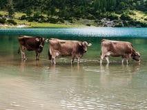 Cows. Bathing cows in Tirol (Austria Stock Photo