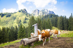 Cows in the Bavarian mountains Royalty Free Stock Image