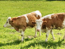 Cows on bavarian pasture. Bavarian Cows on a pasture in the upper bavarian alps Stock Photos