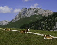 Cows in bayern. Hiking through the Bavarian Alps of Southern Germany royalty free stock photos