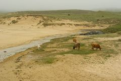 Cows on Beach Royalty Free Stock Images