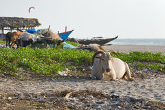 Cows on the beach Royalty Free Stock Images