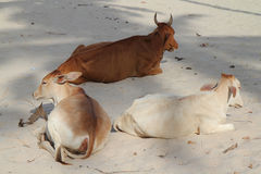 Cows at beach Royalty Free Stock Images