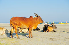 Cows on the beach Stock Photography