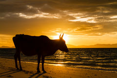 Cows on the beach Royalty Free Stock Image