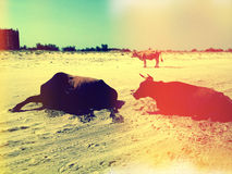 Cows on beach. Group of cows resting on a deserted beach in the summer heat