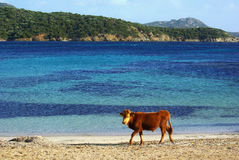 Cows on beach. Cow at Capo Malfatano Beach near Chia (Sardinia - Italy Royalty Free Stock Photo